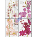 Orchid: Dendrobium Varieties -MAXIMUM CARDS-